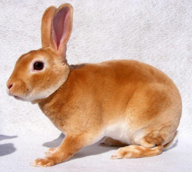 О кролике рекс: декоративная короткошерстная порода, описание, стандарты и уход