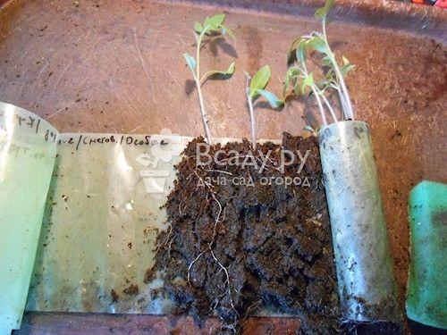 О правильной посадке рассады капусты в грунт, как вырастить из семян