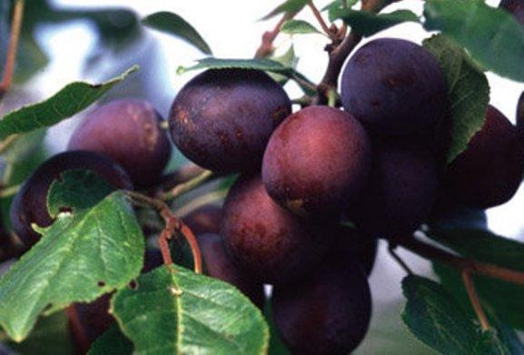 О сливе заречная ранняя желтая: описание сорта, опылители, агротехника выращивания