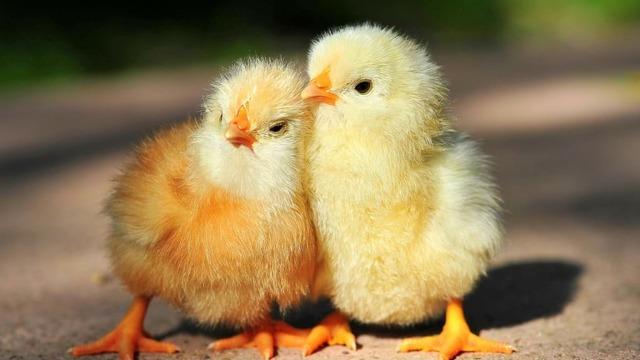 О левомицетине для цыплят, бройлеров, кур: дозировка на литр воды