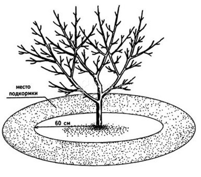 О груше бере боск: описание и характеристики сорта, посадка, уход, выращивание