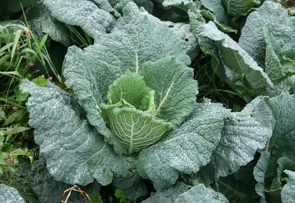 О савойской капусте: выращивание и уход в открытом грунте, рассада