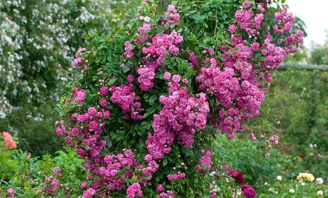 О розе super dorothy: описание и характеристики сорта плетистой розы