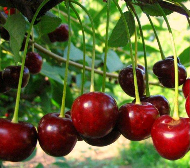 О молодежной вишне: описание сорта, посадка, обрезка, опыление и уход
