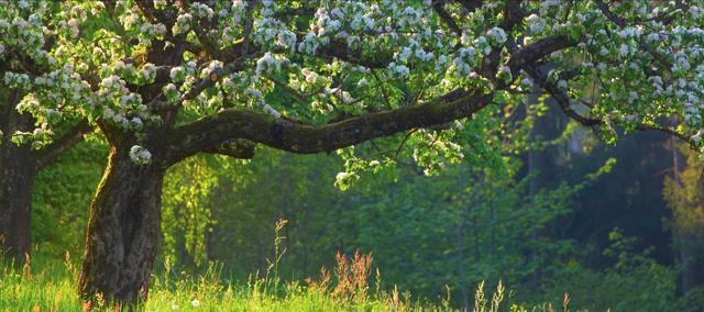 О правильной посадке яблони весной в сибири, какой лучше выбрать саженец