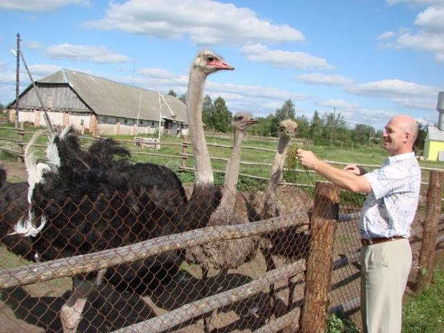 О разведении страусов в домашних условиях, выгодное выращивание птенцов