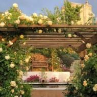 О розе полька (polka): описание и характеристики сорта розы плетистой