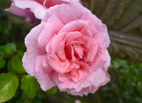 О розе алоха (aloha): описание и характеристики, выращивание розы плетистой