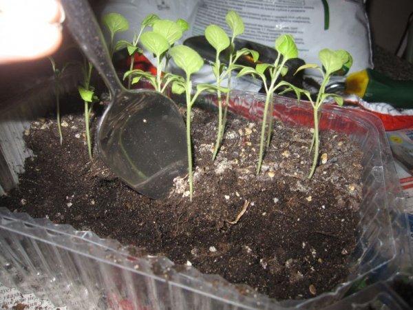 О рассаде баклажанов: выращивание и уход в домашних условиях и открытом грунте