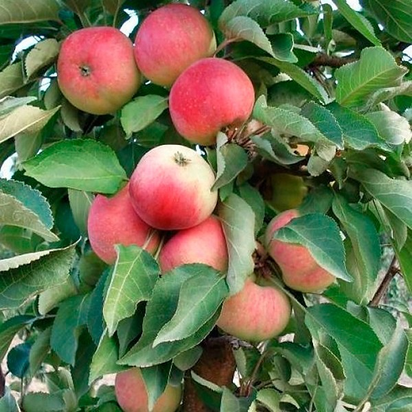 О колоновидной яблоне кумир: описание и характеристики сорта, посадка и уход