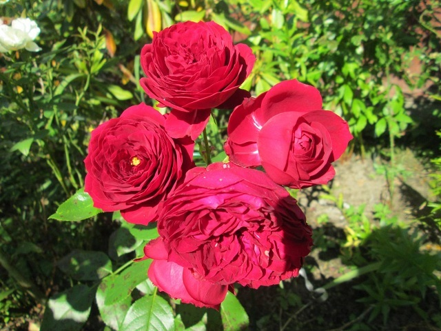 О розе red eye: описание и характеристики сорта, уход и выращивание