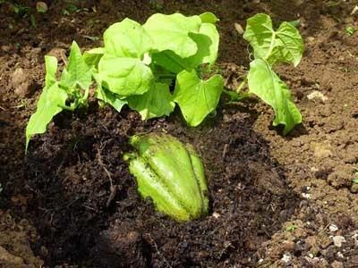 О выращивании чайота (мексиканского огурца) в открытом грунте: агротехника