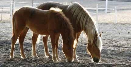 О породах лошадей: все породы лошадей от а до я, название, описание, характеристики