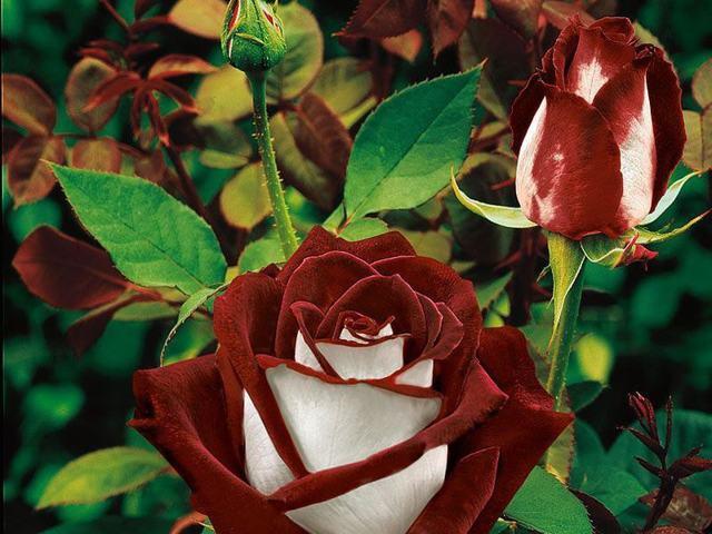 О розе topaz: описание и характеристики сорта чайно гибридной розы