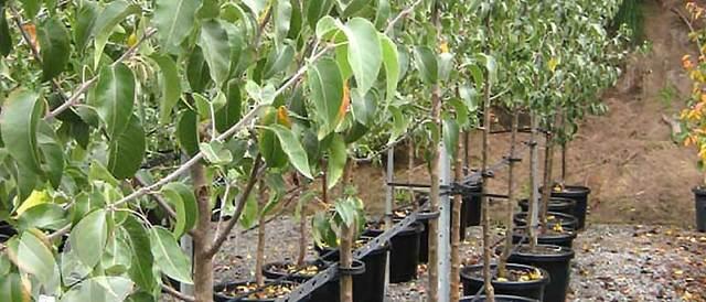 О груше дюшес: описание и характеристики сорта, посадка, уход, выращивание