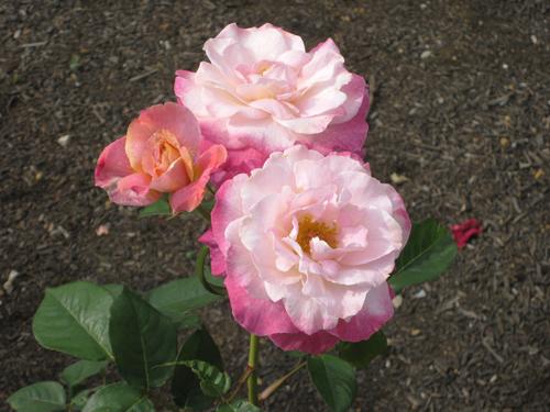 О розе абракадабра (abracadabra ): описание чайно-гибридной плетистой розы