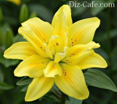 О посадке лилий летом (как правильно сажать с цветами, с ростками, луковицами)