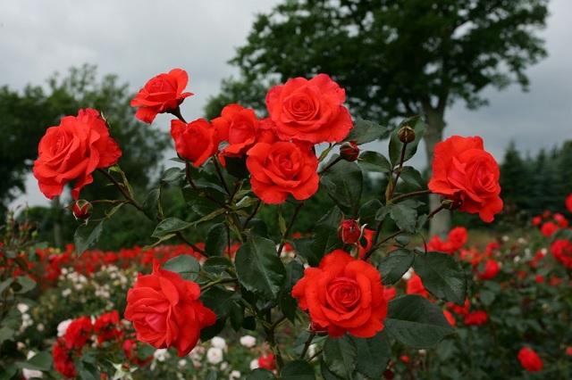 О розе салита (salita): описание и характеристики сорта розы плетистой