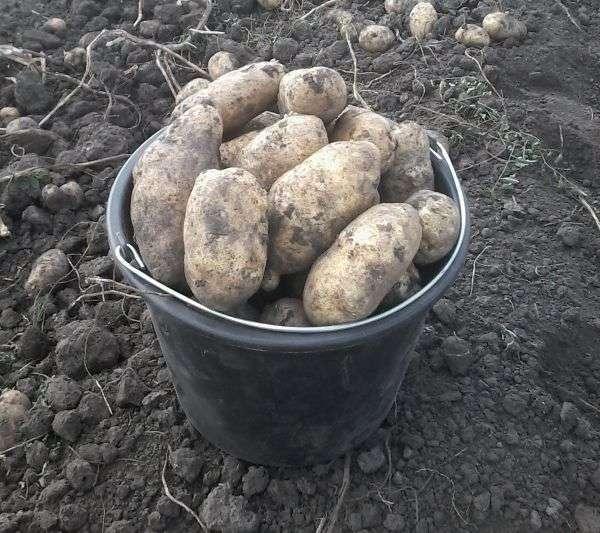 О картофеле инноватор: описание семенного сорта, характеристики