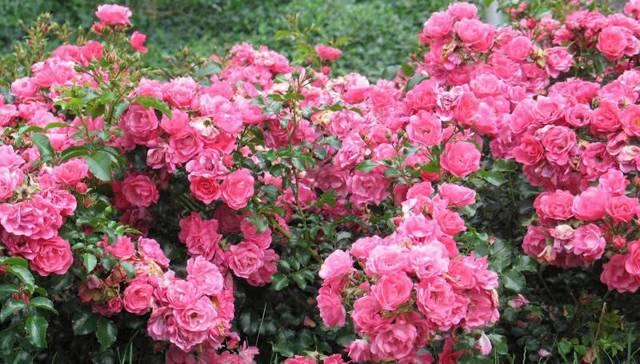 О почвопокровных розах: описание и характеристики сортов, агротехника