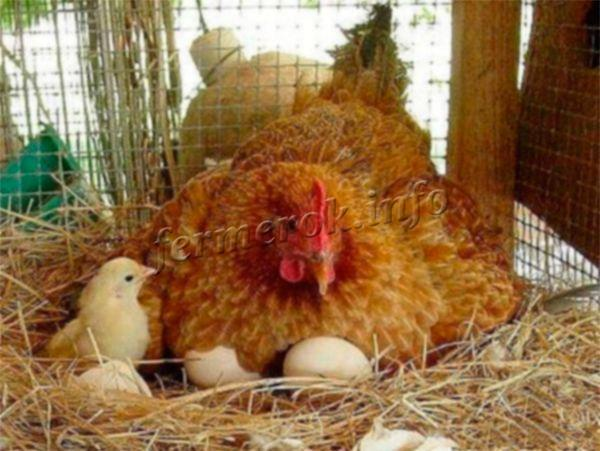 О породе кур кучинские: описание и характеристика, как определить пол у цыплят