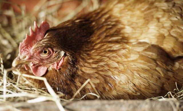 О мелких яйцах у кур несушек, и что делать, если курицы несут яйца без желтка