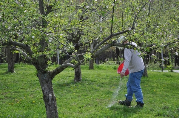 О подкормке для яблонь и груш весной: советы и рекомендации бывалых садоводов