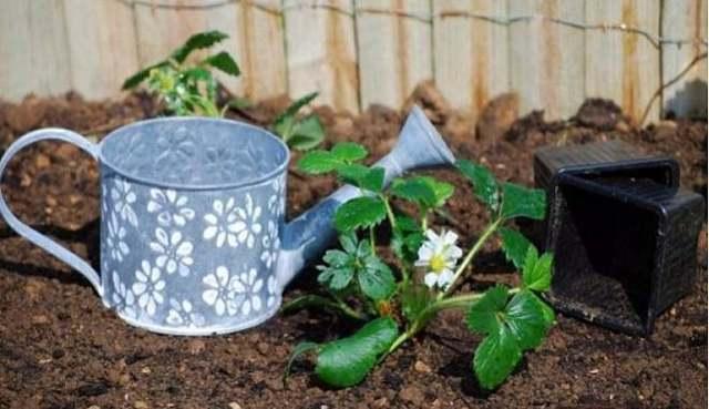 О клубнике тоскана: описание и характеристики сорта, посадка, уход, выращивание