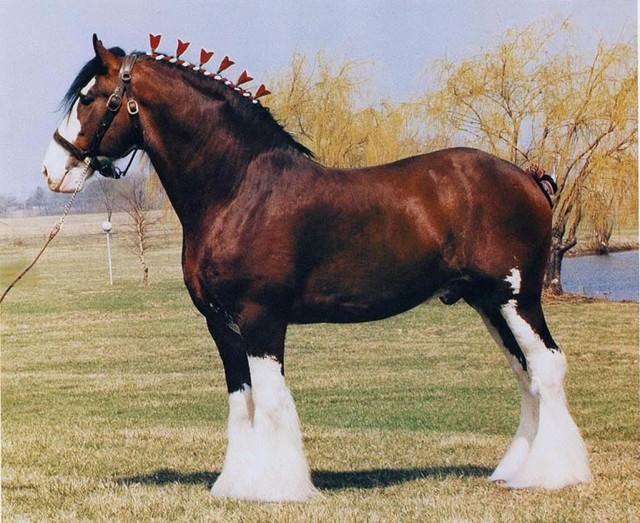 О лошадях тяжеловозах: известные породы ломовых, тяжелоупряжных лошадей