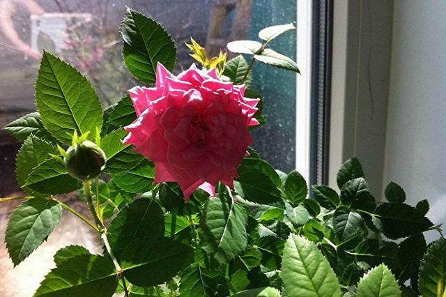 О домашней розе: описание и характеристики видов и сортов, уход и выращивание