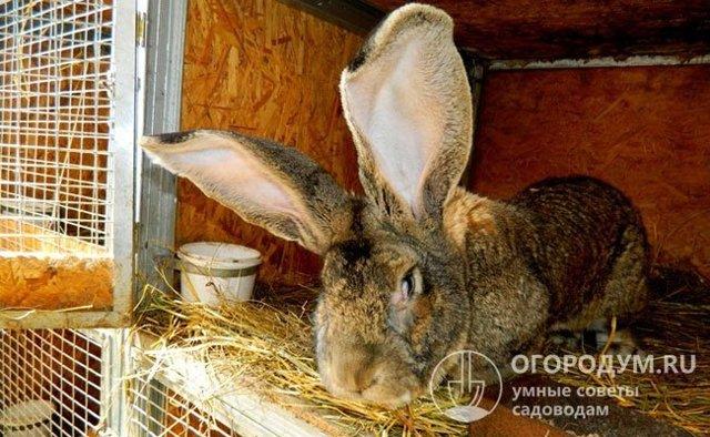 О кроликах великанах: разновидности породы, разведение, выращивание и кормление