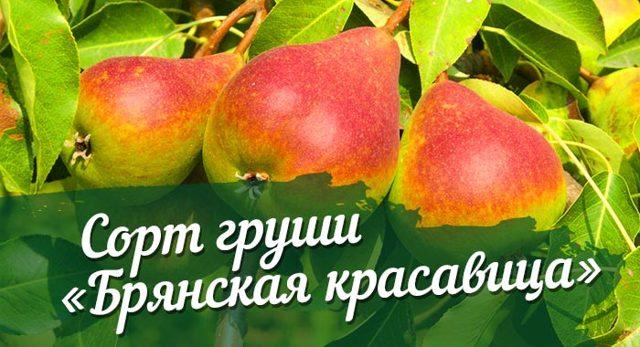 О груше брянская красавица: описание сорта, агротехника выращивания