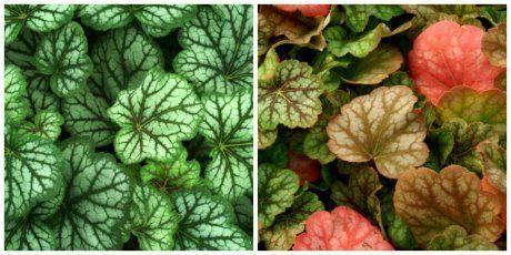 О лучших сортах гейхеры гибридной: как выглядят, характеристики растений