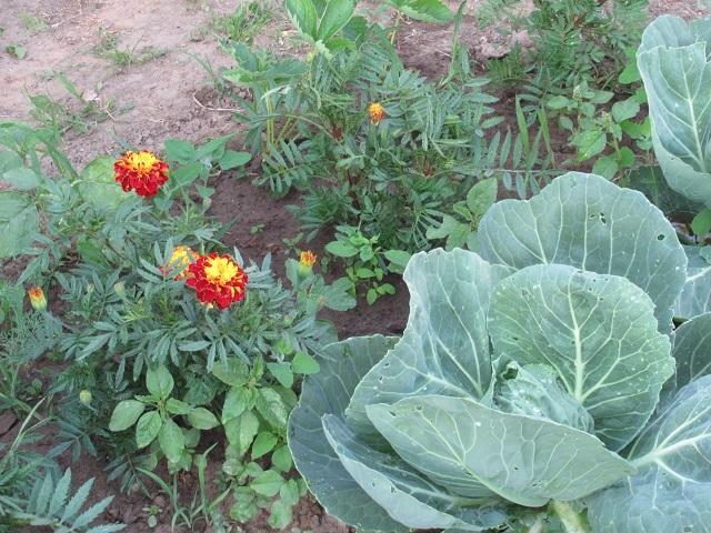 О предшественниках капусты при посадке: после каких культур можно садить