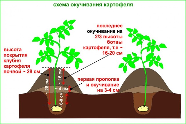 О картофеле лаура: описание семенного сорта, характеристики, агротехника