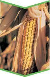 О гербицидах для кукурузы: инструкция по применению, правила обработки