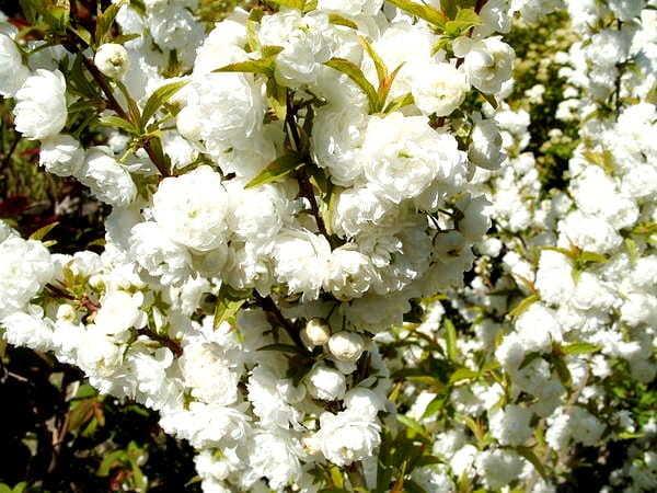 О вишне мелькопильчатой: японское декоративное дерево, описание, отличия