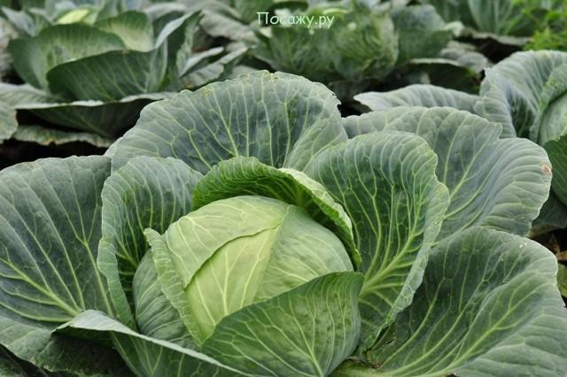 О посадке капусты в открытый грунт семенами: когда и как правильно сеять