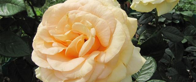 О розе eyes for you: описание и характеристики сорта, уход и выращивание