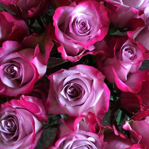 О пурпурных розах: описание и характеристики сортов, уход и выращивание