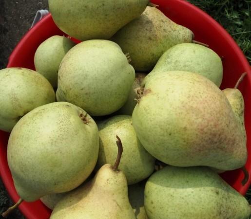 О груше просто мария: описание сорта, агротехника выращивания, особенности ухода