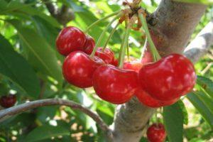 О вишне загорьевской: описание и характеристики сорта, посадка и уход