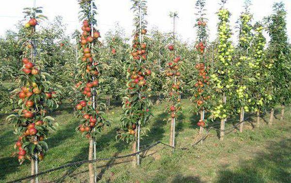 О колоновидной яблоне: сорта для подмосковья, какие лучше сажать
