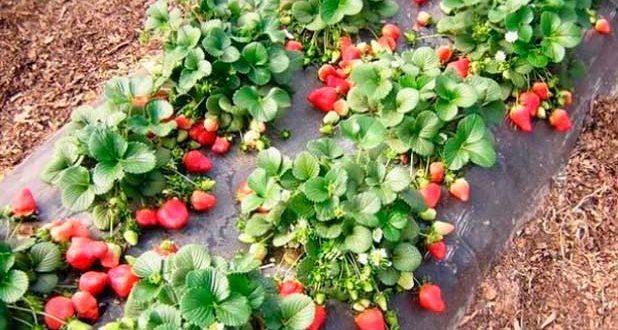 О клубнике монтерей: описание сорта, агротехника посадки и выращивания