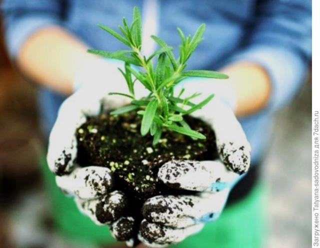 О посадке и уходе за розмарином: размножение и выращивание в домашних условиях