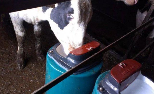 О поилках для крупного рогатого скота (крс) своими руками: пошаговая инструкция