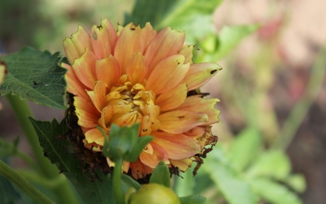 О болезнях и вредителях георгин (почему листья желтеют, что делать с тлей)