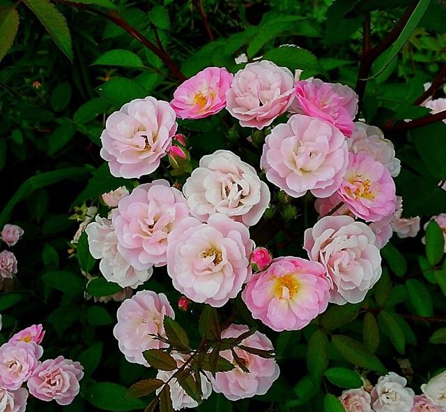О розе heavenly pink: описание и характеристики сорта, выращивание мускусной розы