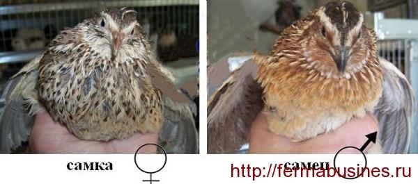 О перепелках домашних: условия разведения, породы, отличия самки от самца