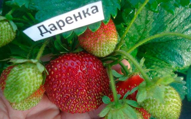 О выращивании клубники в сибири в открытом грунте: лучшие сорта для посадки